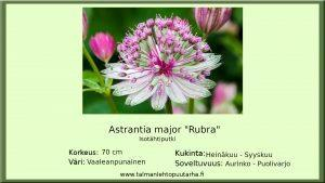 Isotähtiputki Rubra