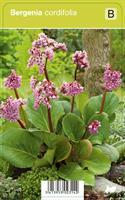 Herttavuorenkilpi cordifolia