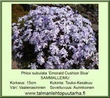 Sammalleimu  'Emorald Cuschion Blue'