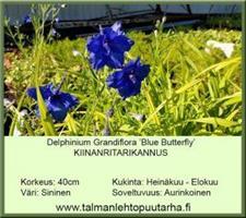 Kiinanritarinkannus  'Blue Butterfly'
