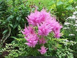 Jaloangervo Astary rose shades