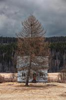 Lärkträdet