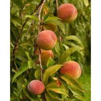 Persikka öljy - Peach Kernel 1L