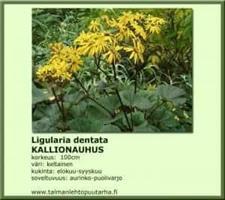 Kallionauhus 'Desdemona'