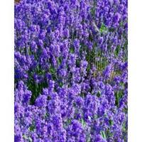Lavender 100 % Essential Oil 10 ml