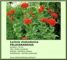 Palavarakkaus chalcedonica